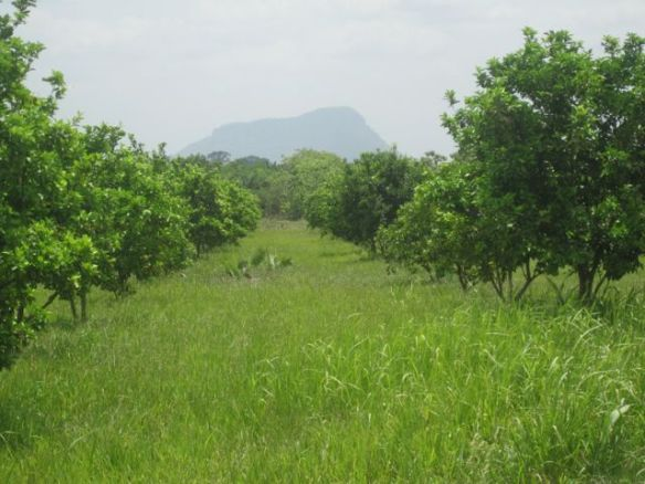 Citrus orchard with Mt Adaklu